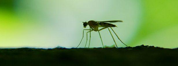 Dişi Sivrisineğin Üzerindeki Canlı