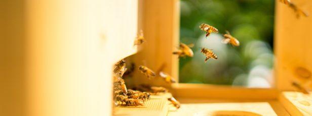 Dişi Arılar